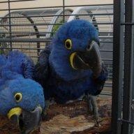 Parrot797