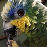 Yellowchickenparrot