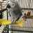 ozey the African grey